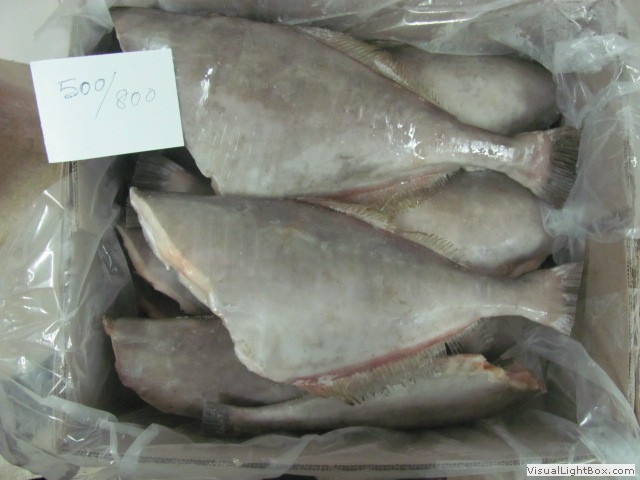 C foods nagercoil for Leather jacket fish